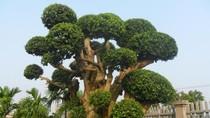 Độc đáo cây duối cổ thụ khổng lồ ở Hoài Đức, Hà Nội