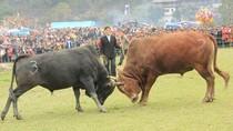 Toát mồ hôi khi xem chọi bò ở hội xuân hồ Ba Bể