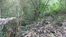 Giật mình: Hàng nghìn m2 rừng Quốc gia ở Đền Hùng bị chặt phá trụi