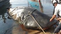 """Nóng chiều 7/4: Ngư dân Quảng Trị bắt được cá """"khủng"""" nặng 2 tấn"""