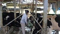 """Vĩnh Phúc quyết """"hy sinh"""" ngành bò sữa để ưu tiên cho dự án của FLC"""