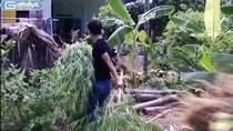 Ảnh: Phát hiện vườn cần sa giữa lòng thành phố Hải Phòng