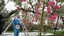 Khám phá táo tươi vùng Aomori từ Nhật Bản