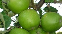 Ăn táo xanh hỗ trợ tốt cho quá trình giảm cân, ngăn béo phì