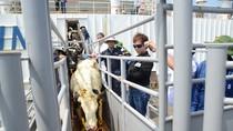 """Cận cảnh đàn bò sữa chất lượng cao lớn nhất từ Mỹ """"nhập cảnh"""" về Việt Nam"""