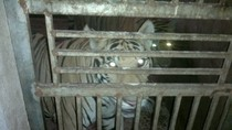 Ai bảo kê cho cả làng nuôi hổ trái phép?