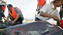 """Bức ảnh chú cá heo """"khóc"""" khi bị xẻ thịt gây xúc động cư dân mạng"""