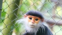 Những người định giết khỉ, sẽ chùn tay khi xem những tấm ảnh này!