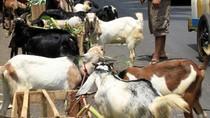 Hàng ngàn con dê bị 'hành quyết' ở nơi tổ chức SEA Games