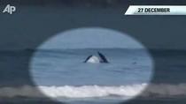Cận cảnh cá voi sát thủ tấn công cá mập