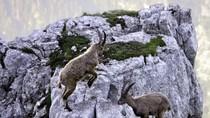 Bất chấp nguy hiểm, dê núi khóa sừng trên độ cao 3.900m