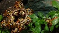 Phát hiện ong chiến binh đầu tiên trong thế giới loài ong