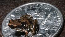 Động vật có xương sống nhỏ nhất thế giới: ếch dài 7 mm