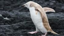 Ảnh: Chim cánh cụt trắng cực hiếm thấy xuất hiện tại Nam Cực