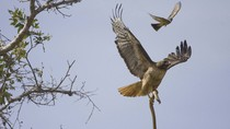 Cận cảnh chim ó bắt rắn ngoài tự nhiên