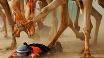 Cuộc đua lạc đà khốc liệt tại Ả Rập Saudi