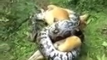Video: Chủ liều mình cứu chó đang bị trăn siết cổ