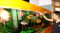 """Có một """"thủy cung"""" cá rồng bạc tỷ trong ngõ nhỏ ở Hà Nội"""