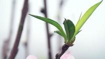 Chiêm ngưỡng sắc hồng tuyệt đẹp của đào phai Hà Nội