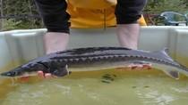Chủ tịch Tập đoàn Cá tầm VN: Metro bán cá tầm nhập lậu