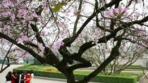 Góc ảnh: Ngất ngây với hoa ban nở giữa trời Hà Nội