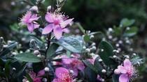 Góc ảnh độc giả: Say đắm vẻ đẹp hoa sim nơi núi đồi miền Trung