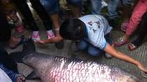 Ảnh: Bắt cá trắm đen to bằng người lớn khi hồ xả lũ