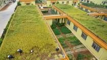Ảnh: Doanh nghiệp Trung Quốc trồng lúa trên mái nhà