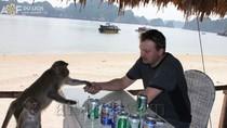 Thú vị tour du lịch uống bia... với khỉ ở Cát Bà
