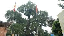 Đi xem cây Dã Hương ngàn năm tuổi hiếm hoi trên thế giới