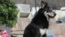 Chuyện cảm động về chú chó trung thành ở bên mộ chủ trong suốt 6 năm