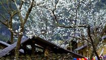 Xuân về Phố Cáo trắng trời hoa mận