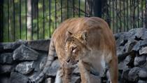 Chiêm ngưỡng những hình ảnh về chú sư tử lai cực hiếm ở Nga