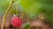 Hình ảnh sống động, lý thú về loài ong bắp cày hút mật