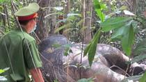 Voi duy nhất ở rừng Tân Phú bị giết để lấy ngà
