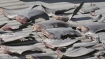 """""""Chile đang xác minh thông tin vây cá mập phơi trên mái nhà trụ sở Thương vụ"""""""