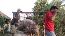 Rộ nghi vấn thương lái Trung Quốc ồ ạt gom lợn mỡ làm bánh trung thu