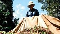 Nhiều tin đồn bất lợi về ngành cà phê Việt trên diễn đàn thế giới