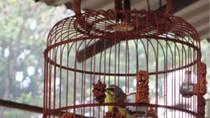 """Chọi chim đệ nhất Hà Thành: Câu chuyện tậu """"lầu son, gác tía cho chim"""""""