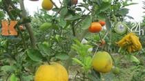 Khám phá vườn cây ngũ quả độc đáo của lão nông Hà thành