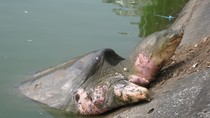 Hình ảnh mới nhất về cụ rùa Hồ Gươm leo lên bờ tắm nắng