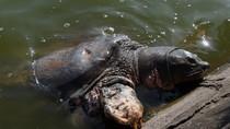 Cụ rùa hồ Gươm phơi nắng trong giá lạnh!