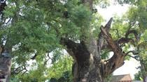 """Chiêm ngưỡng cây dã hương cổ thụ """"độc nhất vô nhị của thế giới"""""""