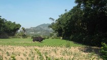 Quảng Nam: Bò tót húc chết người