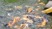 Chùm ảnh: Ngỡ ngàng trước vẻ đẹp của 'ao cá Bác Hồ'