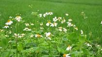 Góc ảnh độc giả: Ngỡ ngàng vẻ đẹp của sắc hoa xuyến chi nơi thôn quê