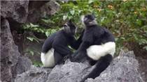 Chùm ảnh: Những loài Linh trưởng đang có nguy cơ tuyệt chủng