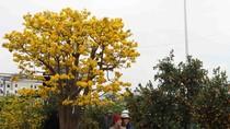 Ngắm cây mai cổ được rao bán giá 2 tỷ đồng ở chợ hoa Đà Nẵng