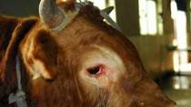 Giết mổ vội gần 2.000 con trâu, bò, tỉnh Yên Bái lo lắng điều gì?