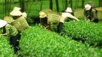 """Nông dân phải """"bán đổ"""" trà Ô long, PepsiCo lại nhập nguyên liệu từ... Trung Quốc"""